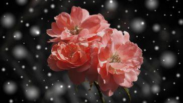 jardin hiver fleur rose neige