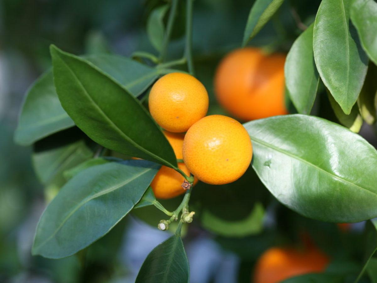 Arbre Fruitier En Pot Interieur calamondin : tout savoir sur l'oranger d'intérieur
