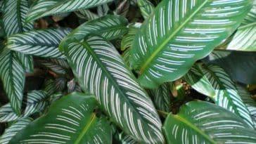 Calathea plante d'intérieur