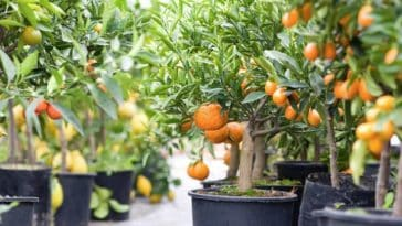 planter graine citron orange