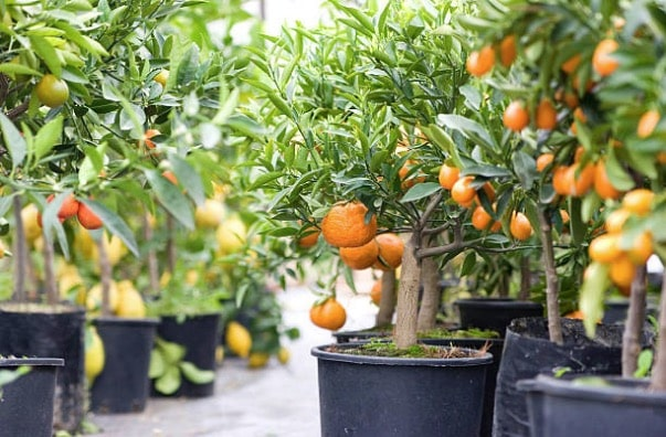 planter graine citron orange
