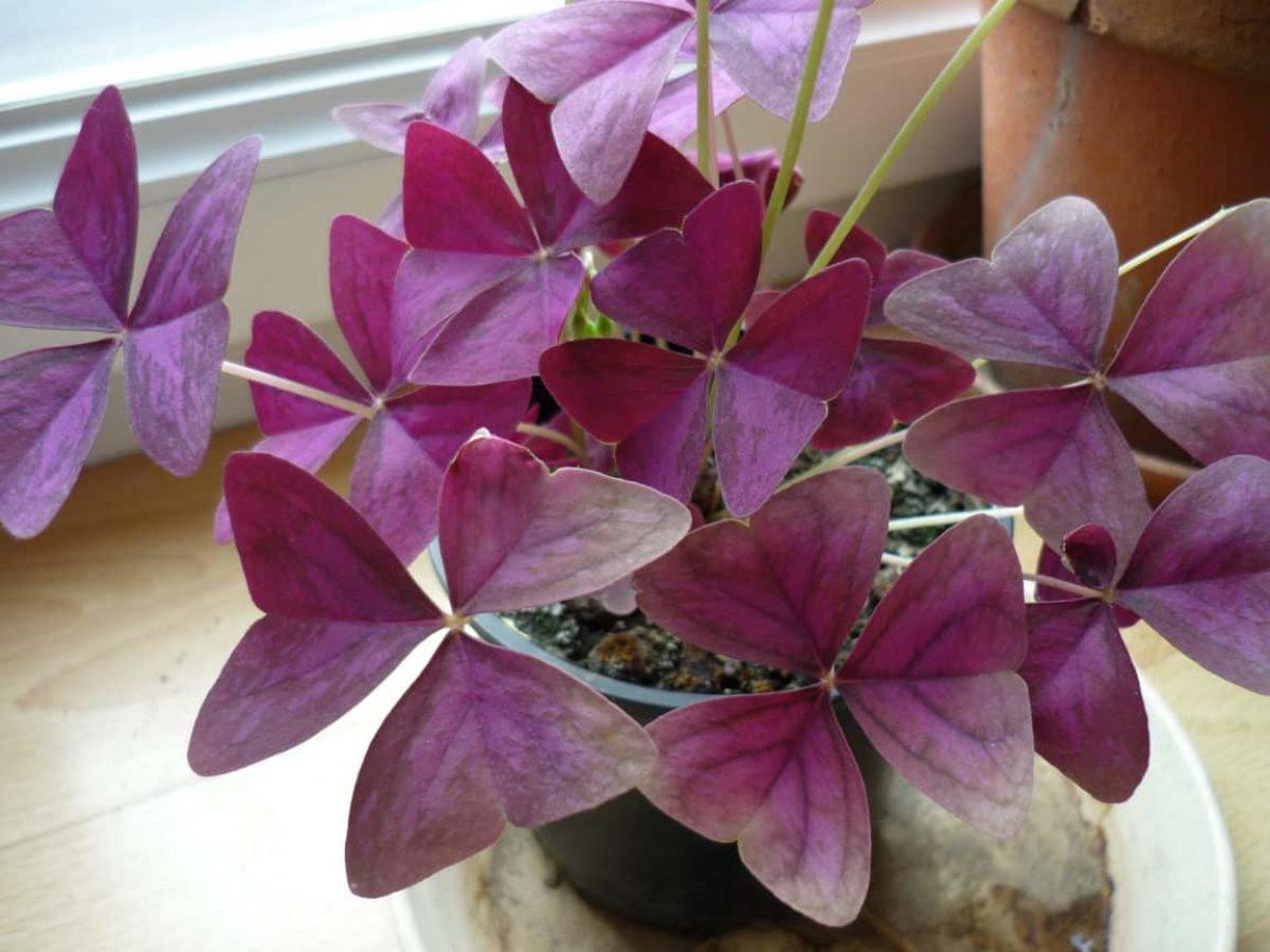 Plante Exterieur Qui Aime L Eau oxalis triangularis : comment entretenir le faux trèfle pourpre