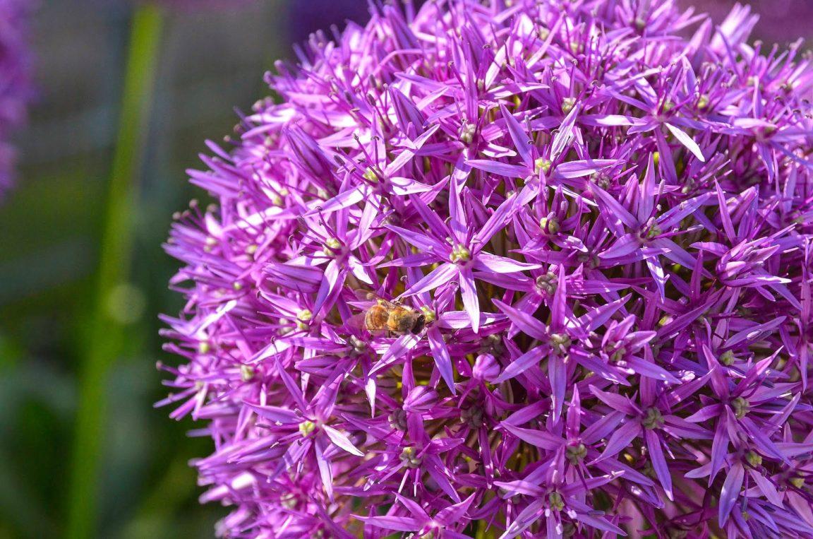 ail d'ornement Purple Sensation allium