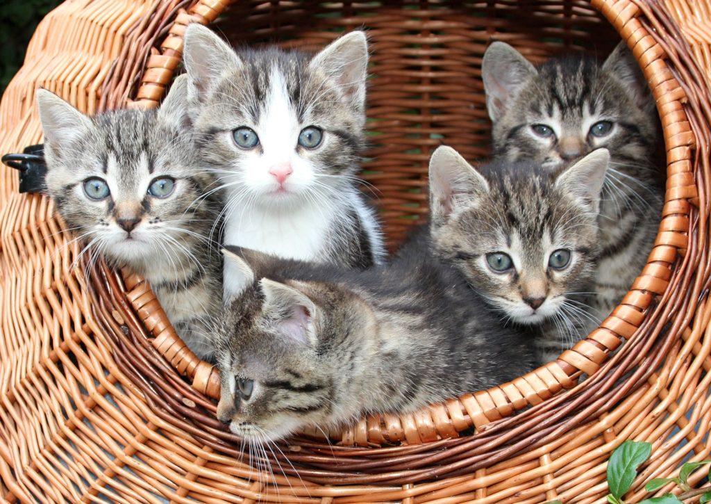 chat litière naturelle chatons