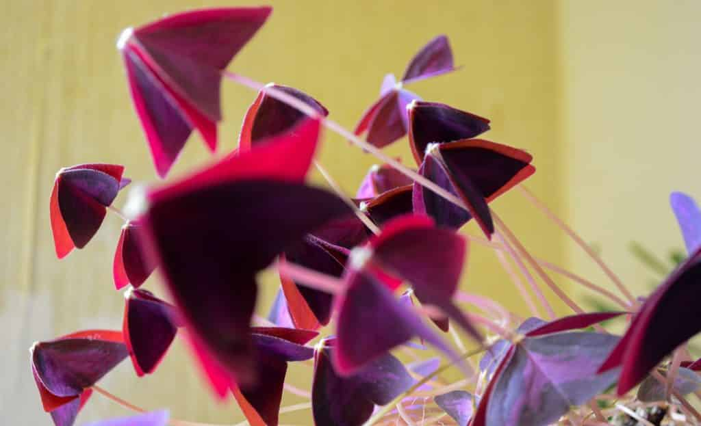 Oxalis triangularis pourpre