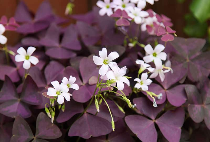 oxalis fleurs