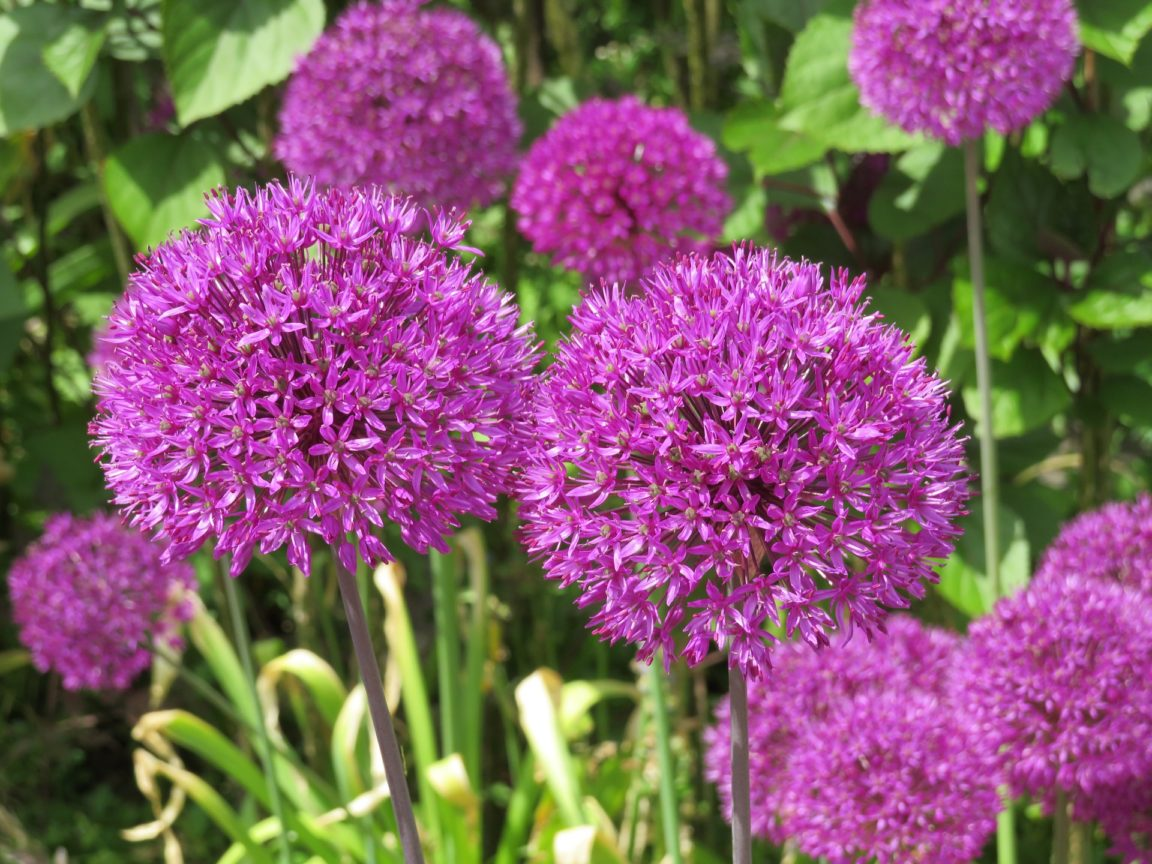 ail d'ornement Purple Sensation allium