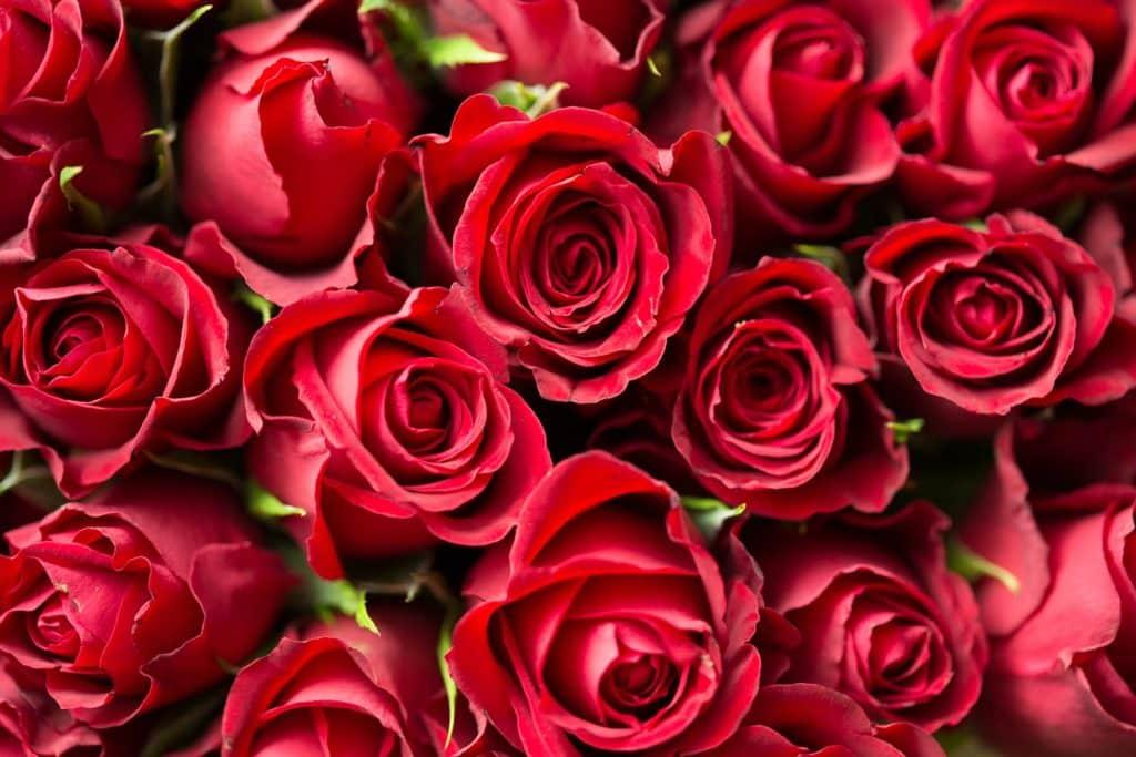 Roses Saint Valentin : quelles fleurs offrir selon leur signification ?