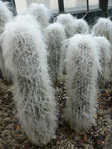 cactusCephalocereus senilis