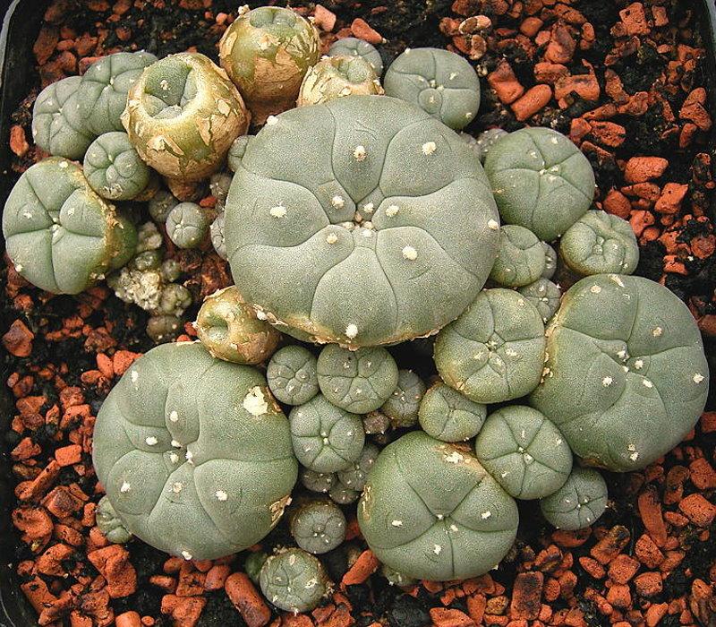 cactus peyotl peyote