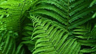 fougère plantes air pur oxygène