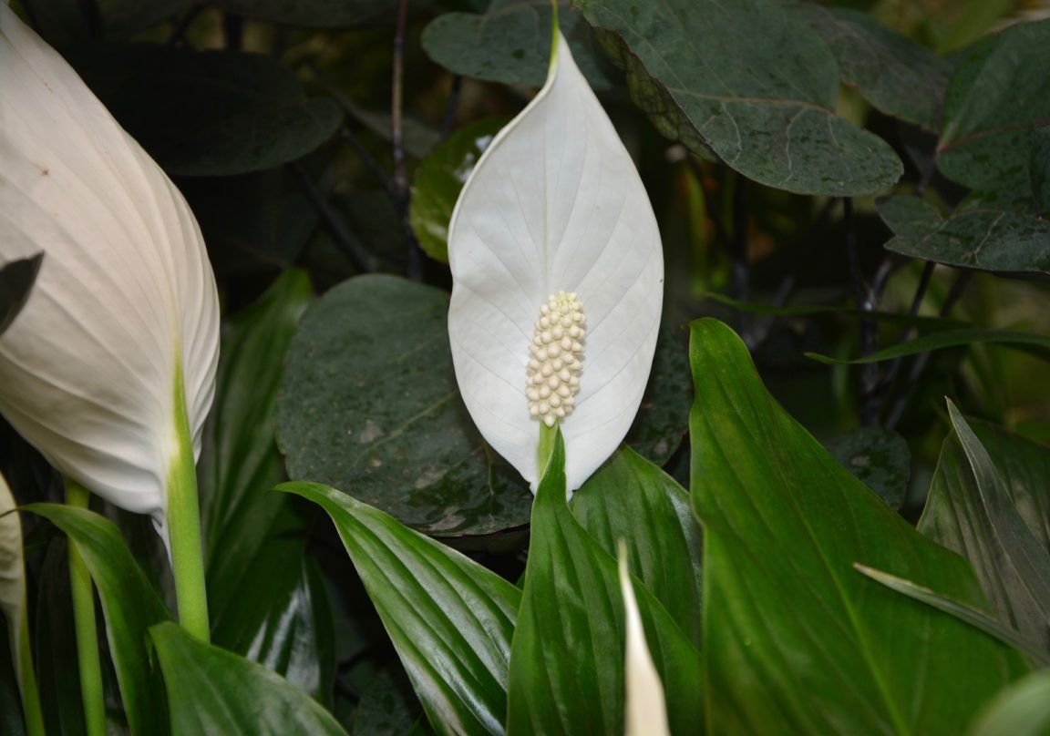 moon flower spathiphyllum