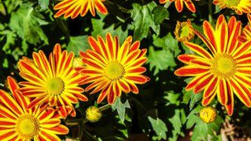 plantes d'extérieur très facile à cultiver gazania