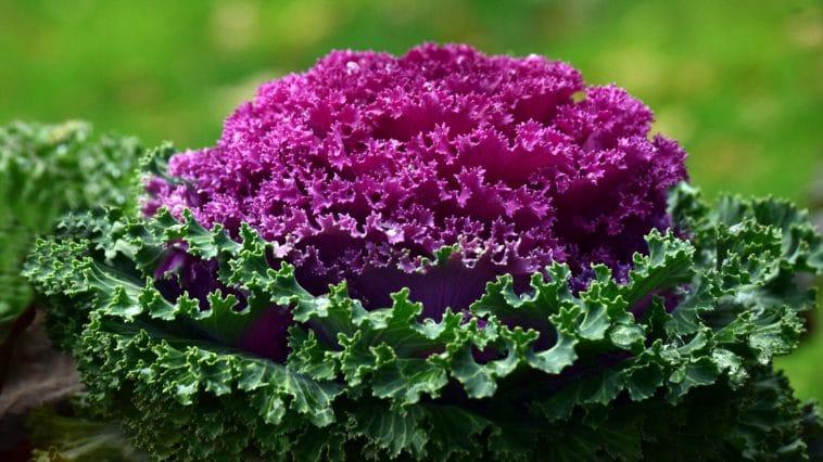 fruits légumes saison mars chou