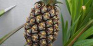 ananas bouturer