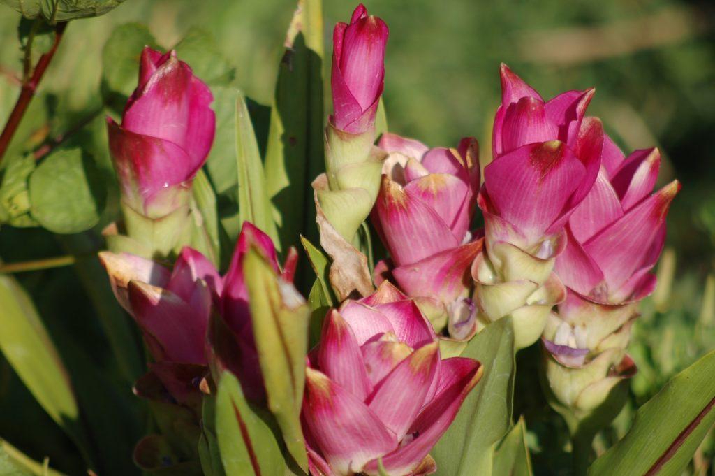 curcuma fleurs