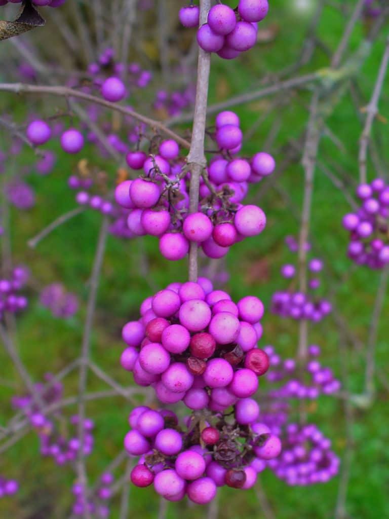 arbuste aux bonbons(Calicarpa bodinieri)