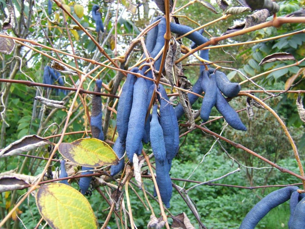 arbre aux haricots bleus (Decaisnea fargesii)