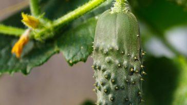 planter cornichon