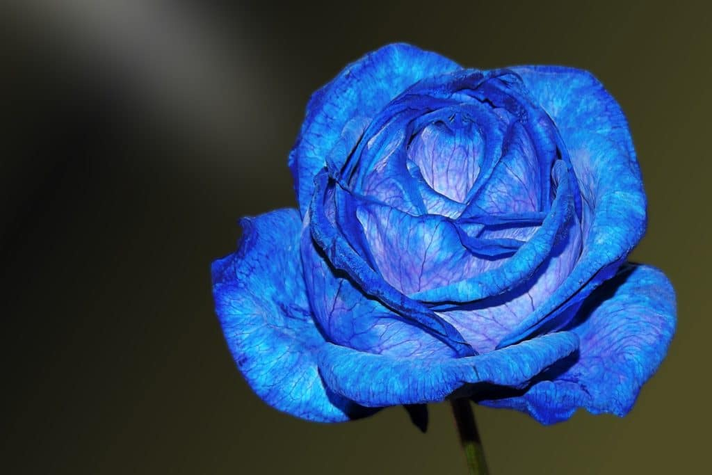 rose bleu hybride