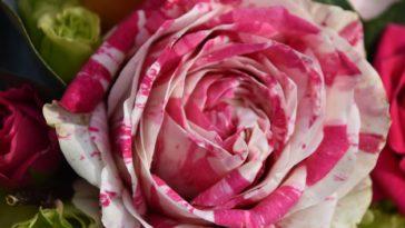 rose hybride
