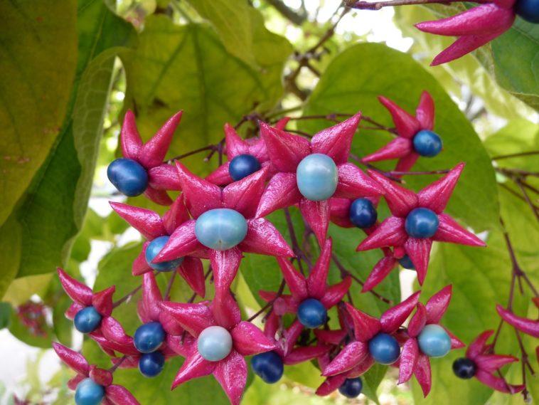 arbre du clergé(Clerodendrum trichotomum) arbustes fruits