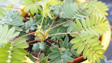sensitive mimosa pudica