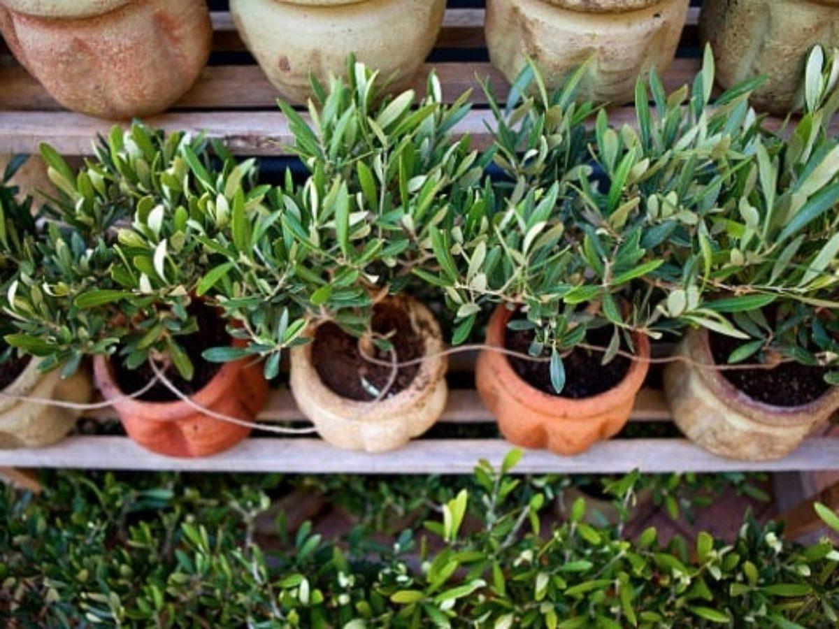 Il Cultive L Olivier olivier en pot : comment planter et entretenir un olivier en