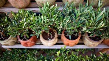 olivier en pot