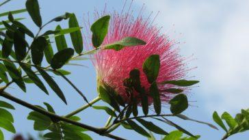 albizia arbre à soie