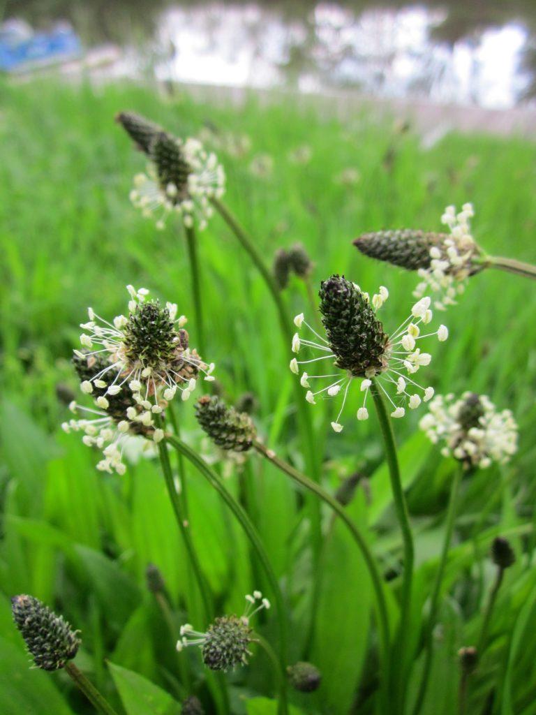 plantain lancéolé mauvaises herbes