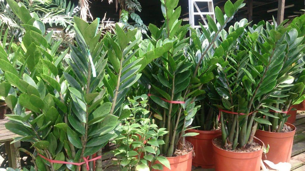 plante ZZ Zamioculcas zamiifolia