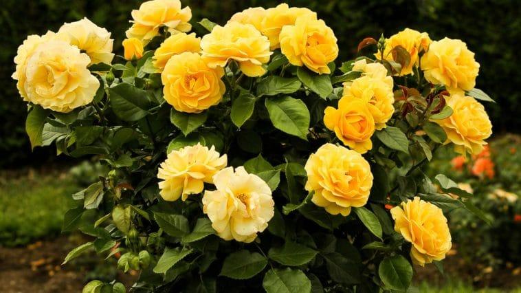 bouturer rosier