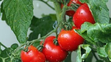potager balcon tomate