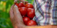 semer tomates