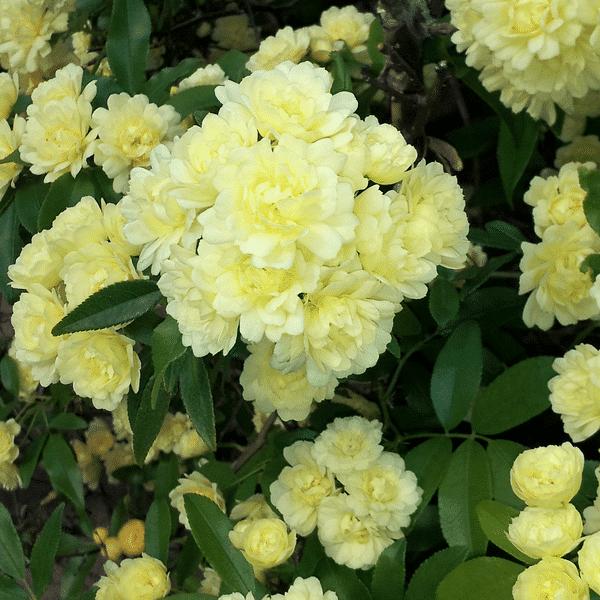 rose banks