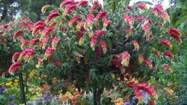 plante crevette Justicia brandegeana
