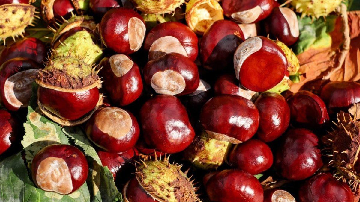Faire Germer Un Marron D Inde marronnier : plantation, culture et entretien de l'arbre aux