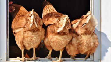 poules au jardin fiente poule fientes