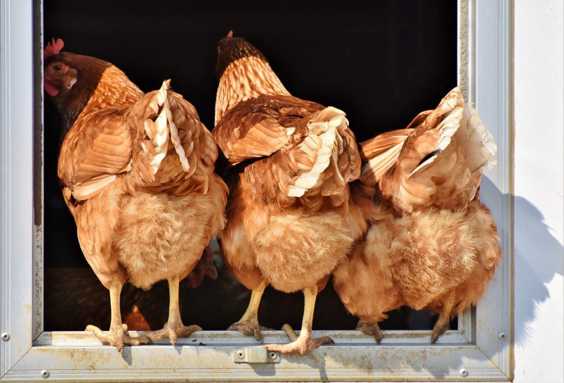 poules au jardin