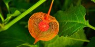 physalis planter
