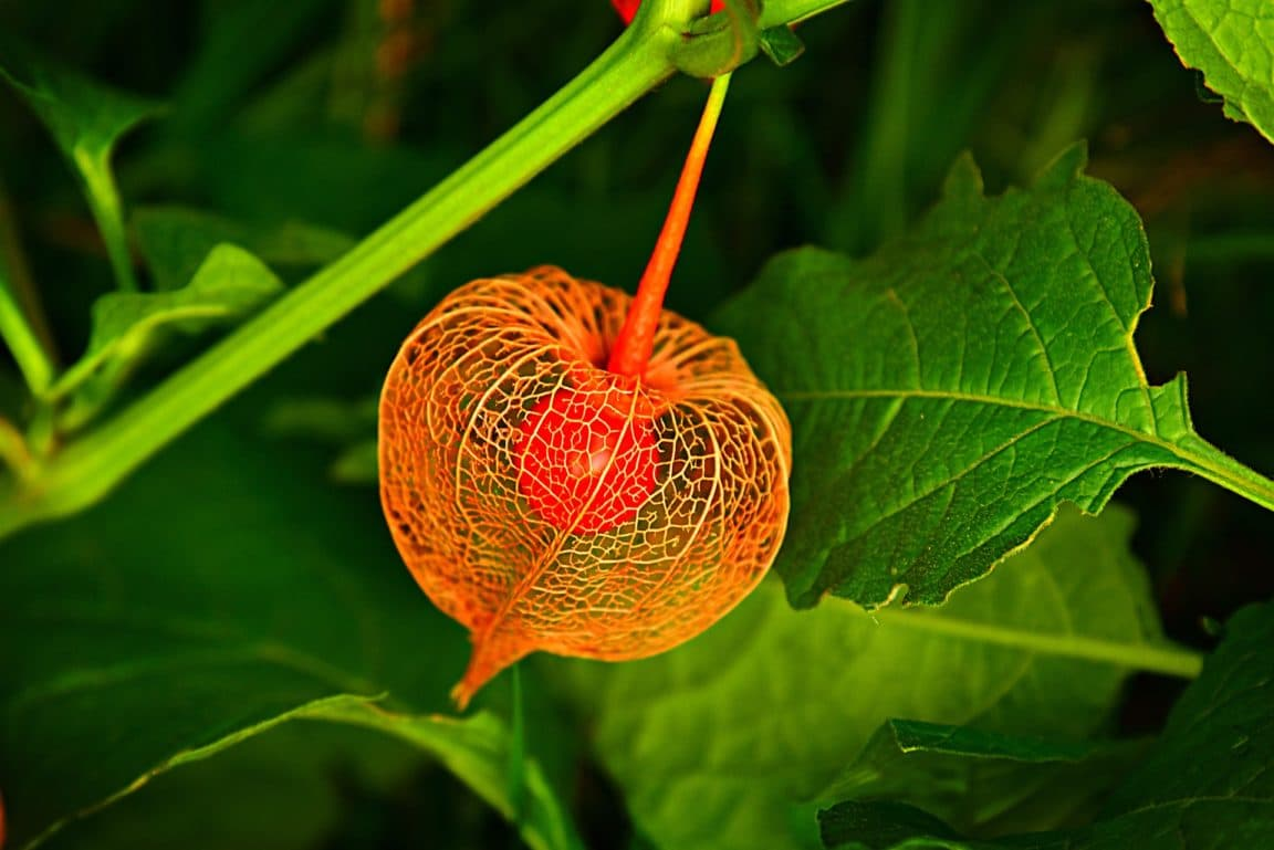 physalis planter