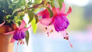 fuchsia plantes retombantes
