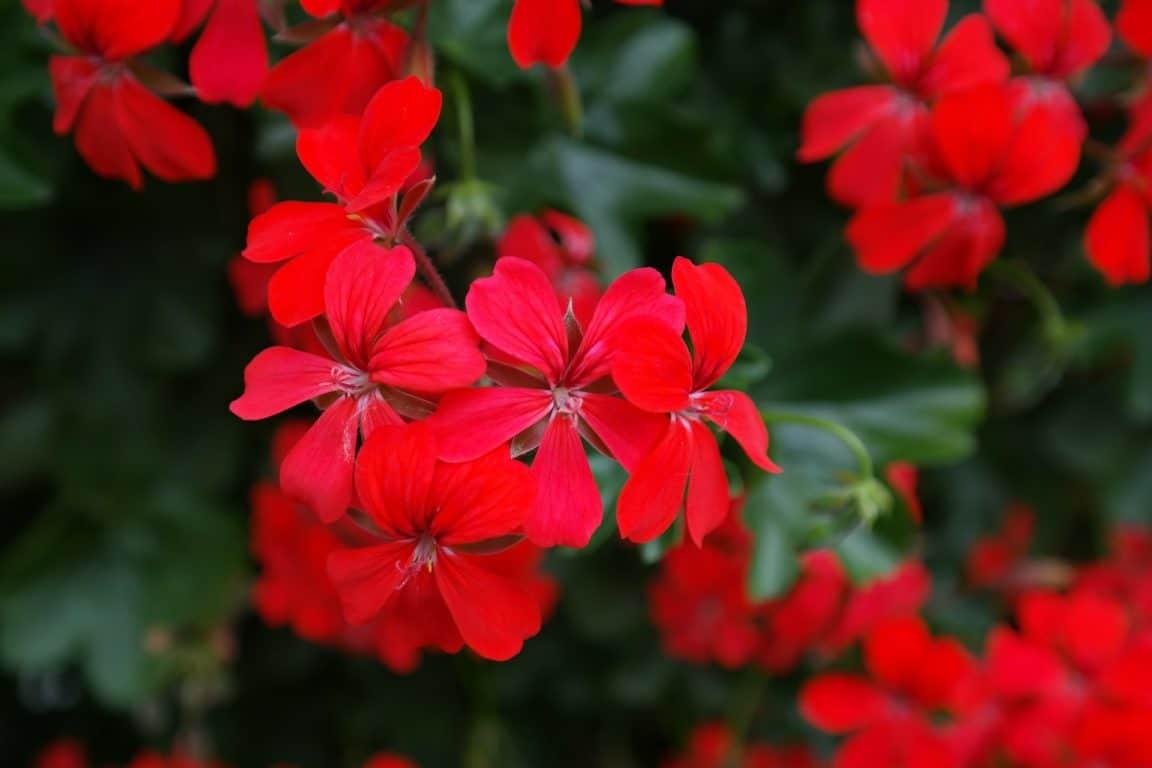 geranium pélargonium