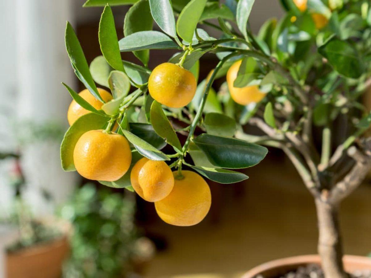 Arbre Fruitier En Pot Interieur fruitiers nains : 10 variétés naines à cultiver sur son balcon