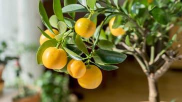 fruitier nain oranger