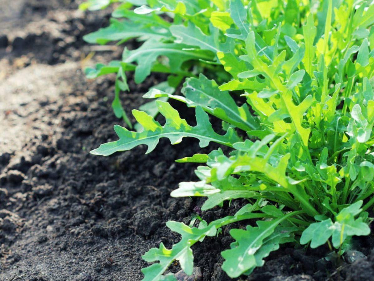 Comment Planter Le Basilic En Terre comment semer, cultiver, entretenir et récolter la roquette