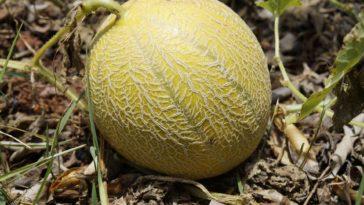 melon cultiver