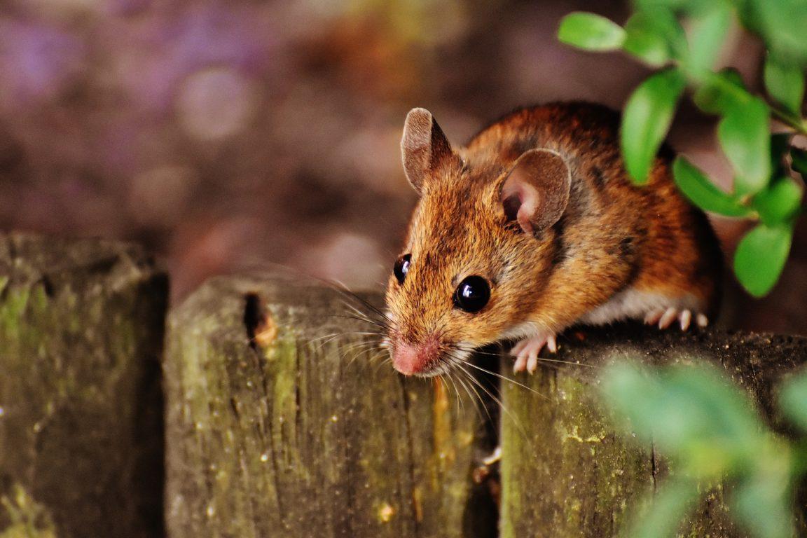 souris rongeurs