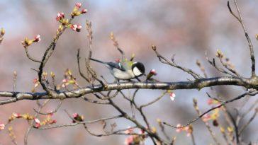 oiseaux cerisiers